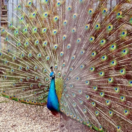 chordata: Peacock or Peafowl - Animalia Chordata Aves Galliformes Phasianidae Pavo
