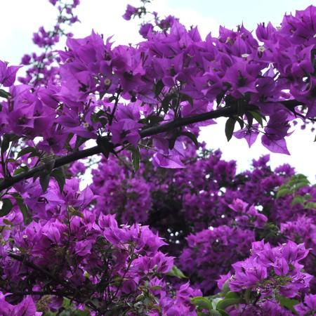 bougainvillea flowers: Bouganvillea - Plantae Magnoliophyta Magnoliopsida Caryophyllales Nyctaginaceae Bougainvillea