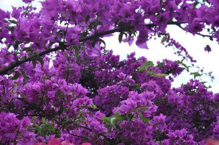 Bouganvillea - Plantae Magnoliophyta Magnoliopsida Caryophyllales Nyctaginaceae Bougainvillea Stock Photo - 7575899