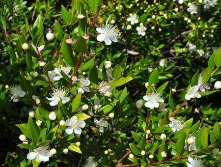 Myrtus myrtle - Plantae Angiosperms Eudicots Rosids Myrtales Myrtaceae Stock Photo