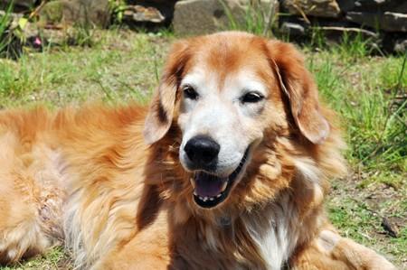 chordata: Dog - Animalia Chordata Mammalia Carnivora Canidae Canis lupus familiaris Stock Photo