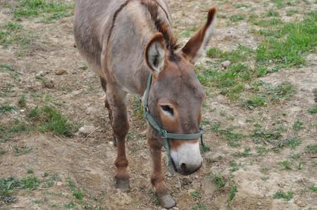 chordata: Domesticated donkey or ass - Animalia Chordata Mammalia Perissodactyla Equidae Equus Asinus Stock Photo