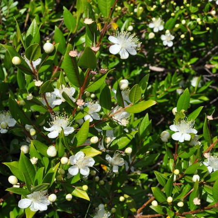 myrtle green: Myrtus myrtle - Plantae Angiosperms Eudicots Rosids Myrtales Myrtaceae Stock Photo
