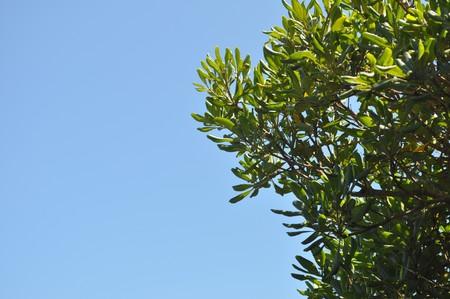 eudicots: Nerium Oleander - Plantae Angiosperms Eudicots Asterids Gentianales Apocynaceae Apocynoideae Wrightieae