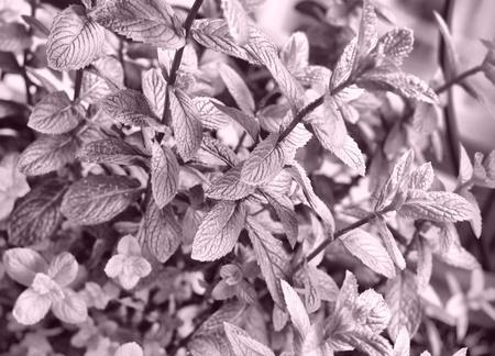 mentha: Rango din�mico alto de menta - Mentha piperita tambi�n conocido como m balsamea Willd menta - HDR Foto de archivo