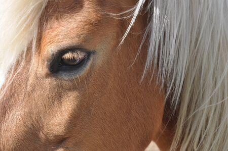 subspecies: Horse, caballus, subspecies of wild equus ferus Stock Photo