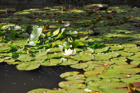 nymphaeaceae: Water Lily Nymphaeaceae flowers floating in a water pond Stock Photo