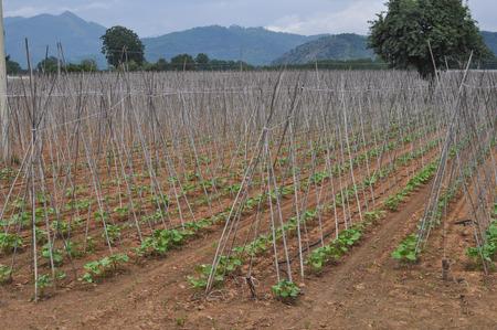 horticultural: Bean plants in an horticultural field