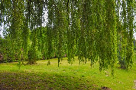 salix: Weeping Willow ornamental tree aka Salix babylonica or Babylon willow