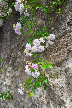 bristly: Wild rose flower aka Rosa acicularis or prickly wild rose or prickly rose or bristly rose or Arctic rose or Rosa canina Stock Photo