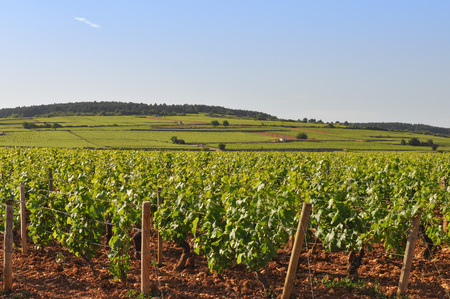 Vineyard plantation of grape bearing vines for wine making in Burgundy Bourgogne France Stock Photo