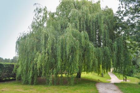 シダレヤナギの観賞用高木別名イトヤナギやバビロンのヤナギ 写真素材