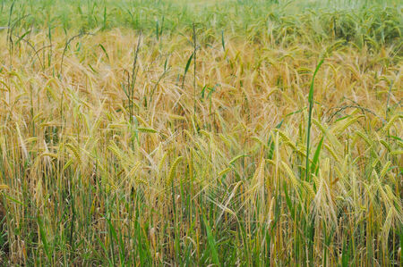known: Wheat field also known as corn field