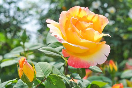 genus: Yellow Rose perennial flower shrub vine of genus Rosa Rosaceae flower Stock Photo