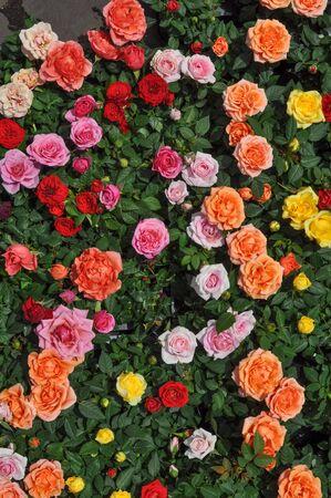 rosas naranjas: Rojas rosas amarillas y anaranjadas Rosas flores de arbustos perennes