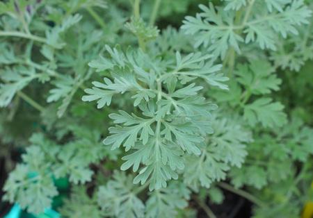 ajenjo: Gris Artemisia absinthium alias planta de ajenjo