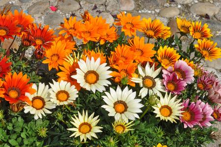 trailing: Orange and white Gazania rigens aka Trailing Gazania flowers