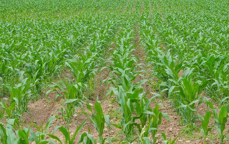 planta de maiz: Campo de maíz de maíz verde útil como fondo