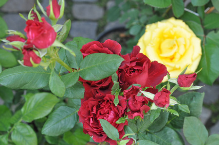 perennial: Red and yellow rose perennial shrub flowers