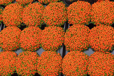 Orange Nertera granadensis aka coral bead plant, pin cushion, coral moss or English baby tears flowers Stock Photo