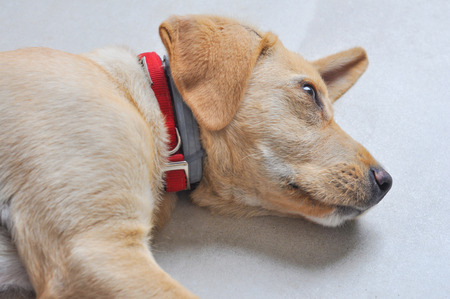 Domestic Labrador dog aka Canis lupus familiaris animal of class Mammalia aka mammals Stock Photo