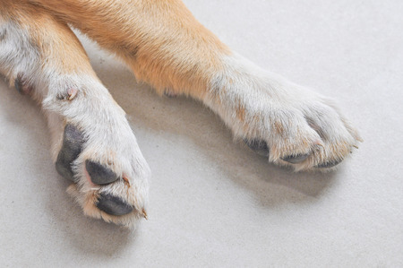 familiaris: Detail of feet of domestic Labrador dog aka Canis lupus familiaris animal of class Mammalia aka mammals Stock Photo