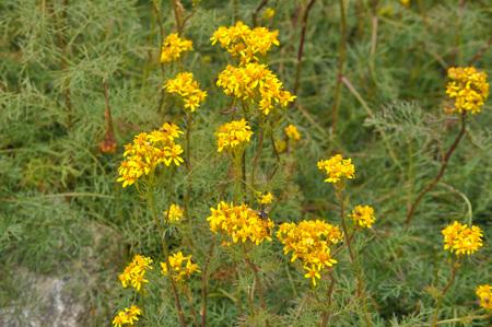 senecio: Adonis leaved groundsel (Senecio adonidifolius) flower