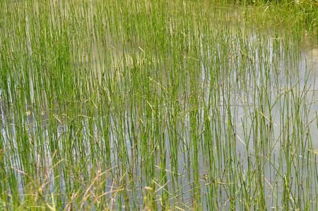 palustris: Marsh Marigold (Caltha palustris) aka kingcup flower