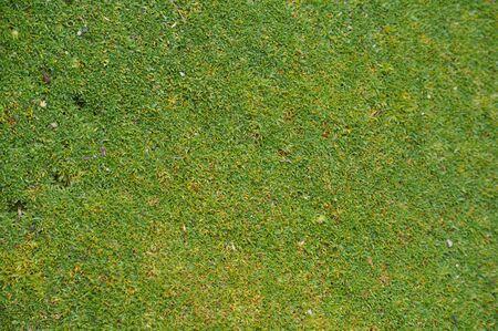 plantae: Moss Campion (Silene Acaulis Exscapa) aka cushion pink flower