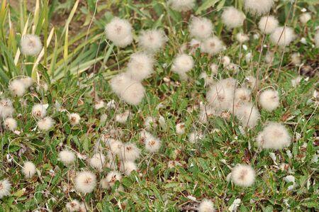 plantae: Bload Leaved Penstemon (Penstemon Ovatus) flower