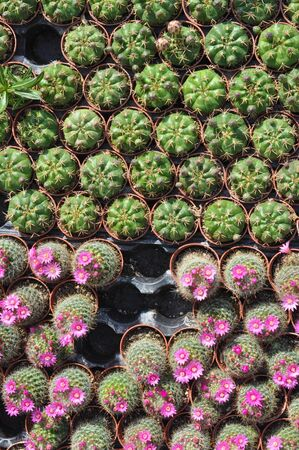 spiny: Cactus spiny succulent plant of family Cactaceae