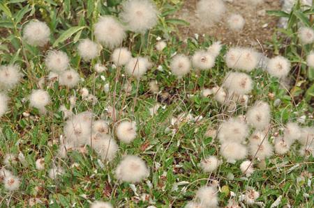 leaved: Bload Leaved Penstemon (Penstemon Ovatus) flower