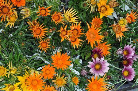 trailing: Orange Gazania rigens aka Trailing Gazania flowers Stock Photo