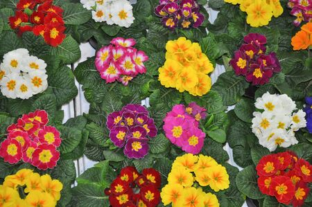 vulgaris: Primrose aka Primula vulgaris flower