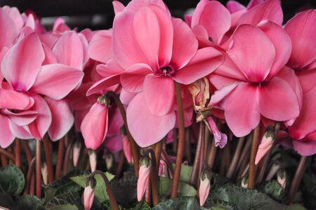 Cyclamen (Cyclamen persicum) flower