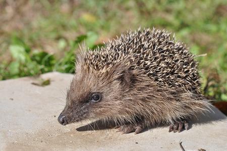 spiny: Hedgehog (Erinaceomorpha Erinaceinae Erinaceidae) spiny mammal animal