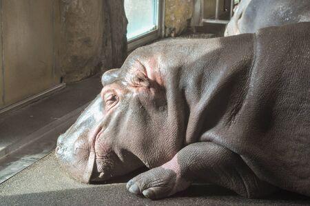 amphibius: Hippopotamu (Hippopotamus amphibius) aka Hippo mammal animal