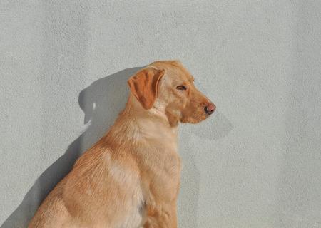 simply: Labrador Retriever dog aka simply Labrador or Lab