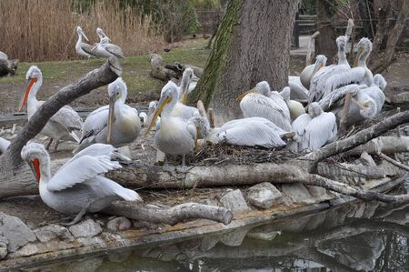 pelecanus: Great White Pelican (Pelecanidae Pelecanus) bird animal Stock Photo