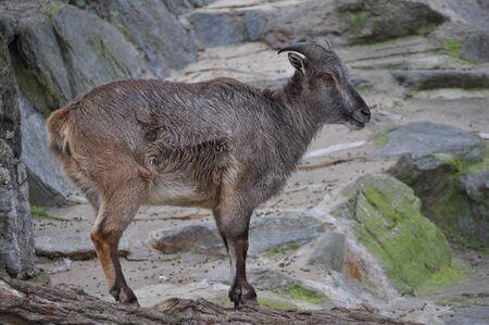 hircus: Domestic goat (Capra aegagrus hircus) mammal animal Stock Photo