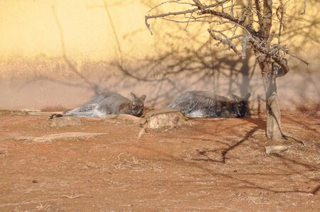 marsupial: Kangaroo marsupial from the family Macropodidae mammal animal