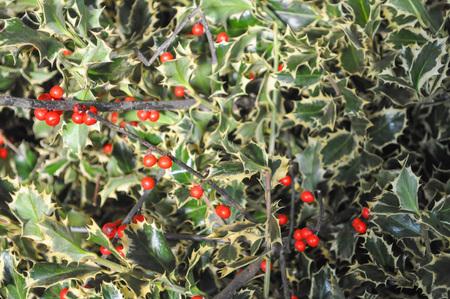 ilex aquifolium holly: Holly (Ilex aquifolium) aka English holly or European holly or Christmas holly plant