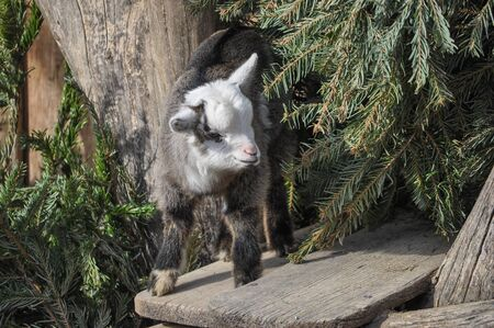 mammal: Domestic goat (Capra aegagrus hircus) mammal animal Stock Photo