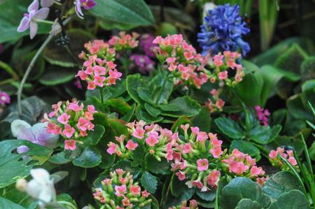 plantae: Pink Kalanchoe (Saxifragales Crassulaceae Kalanchoe) flower Stock Photo