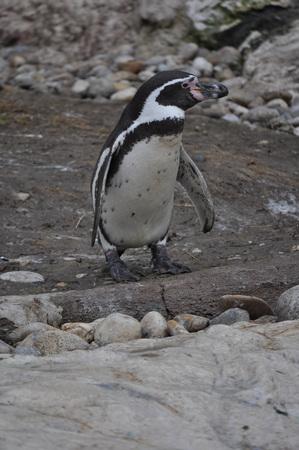 antarctica: Antarctica Penguin bird animal