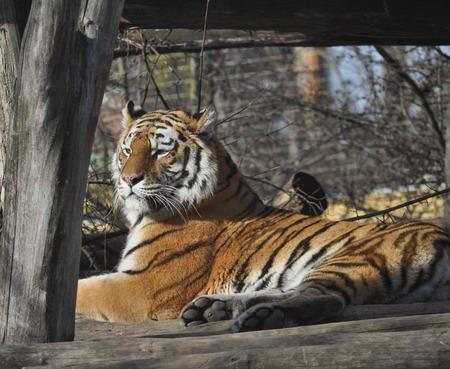 felidae: Tiger (Panthera tigris) felidae mammal animal Stock Photo
