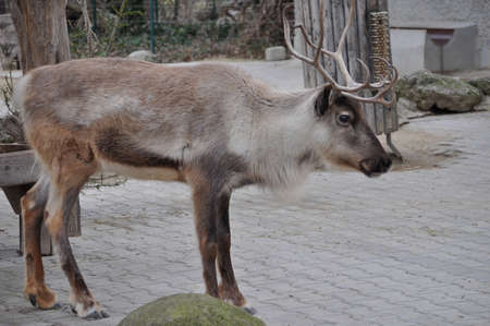 mammal: Deer (Cervidae) mammal animal
