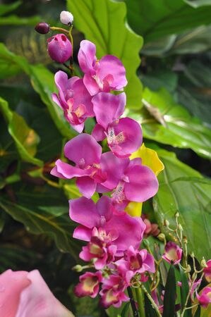 orchidaceae: Pink Orchid (Orchidaceae) flower over green leaves background Stock Photo
