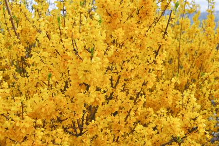 plantae: Detail of Yellow flowers of Forsythia tree