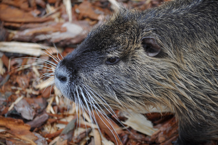 nutria: Coypu (Myocastor coypus) aka river rat or nutria mammal animal